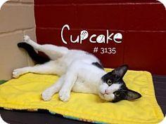 Cupcake - URGENT - Alvin Animal Adoption Center in Alvin, Texas - ADOPT OR FOSTER - Adult Female Domestic SH