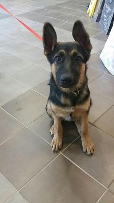 Check out April's profile on AllPaws.com and help her get adopted! April is an adorable Dog that needs a new home. https://www.allpaws.com/adopt-a-dog/german-shepherd-dog/5293067?social_ref=pinterest