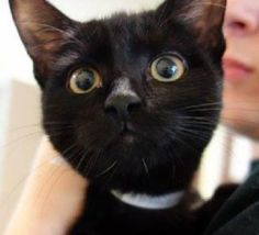 ***UNKNOWN 09/22/16 *** ANOTHER CHANCE TONIGHT FOR THIS SWEET EBONY BABY WHO  HAS COLD!!......Little ZION is only 5 months old and very active....she's doing normal kitten things and needs supervised, appropriate play. The ACC, however, gives her a cheesy Experience rating because of her very kitten nature!! SURELY THIS IS SOMEONE OUT THERE TONIGHT FOR THIS BLACK BEAUTY!! ZION is publicly adoptable or can be reserved through a New Hope rescue!! BE SURE TO APPLY FOR HER NOW!! Email…