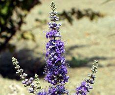 """Hayıt Otu, Kadın Hastalıklarının Deva Kaynağı Latince adı """"Vitex agnus-castu"""" olan hayıt tohumu, görünüşünde 1-3 metre yüksekliğinde, kışın yapraklarını döken ama yaz alarında yaprakları olan, beyaz yada morumsu çiçekler açan, çalımsı bir ağaççıktır. Çiçekleri yaz sonu açar ve sonbaharda minik yemişler verir. Yaprakları 5-7 yaprakçıktan oluşur.  Yazının Devamı: Hayıt Otu, Kadın Hastalıklarının Deva Kaynağı   Bitkiblog.com Follow us: @bİTKİ BLOG on Twitter   Bitkiblog on Facebook"""