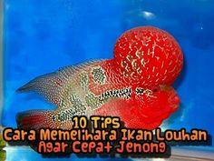 10 Tips Cara Memelihara Ikan Louhan Agar Cepat Jenong