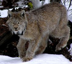 The Canada Lynx (Lynx canadesis) is the only wild cat found in Alaska. This initially surprised me, since I assumedMountain Lionsmade it up there as well, but their range stops just south of the state. This leaves the 20lb Lynx as Alaska's top (and only) feline predator.They are veryelusiveanimals and avoid human contact. Seeing one in the wild is a rare treat!