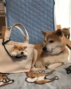 これでお散歩に連れ出せるね。 #柴 #柴犬 #shiba #shibainu #犬ぽんぽん #動物ぽんぽん #trikotriさん真似た #かっつん基本パクリ  ① バッグに着けてみました。 ② どうかなー、柴くん(先生、態度でかいな) ③ 『どれどれ』(まず、チェアから降りようか) ④ 『なかなかいいんじゃないでしょーか、おとーさん』 ⑤ 大きなバッグにも。(うんうん、かわいいぞ!) Shiba Inu, Animals And Pets, Cute Animals, Akita, Doge, Peace And Love, Best Dogs, Little Ones, Panda