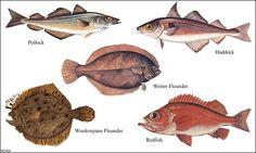 Groundfish species (Picture credit: NOAA)
