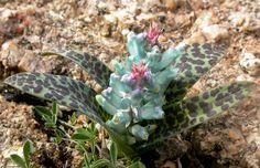 Lachenalia viridiflora - South African plant