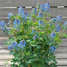 CORYDALIS 'Blue Line' ®        (Corydale) : De culture facile dans les sols humifères, bien drainés, pas trop secs. Se plaisent au pied des murs, à l'ombre. Sélectionnée au Salon du Végétal 2012 pour son exceptionnelle durée et qualité de floraison, sa rusticité, cette variété se renouvelle constamment jusqu'aux gelées. Fleurs bleu intense à gorge blanche au parfum sucré.