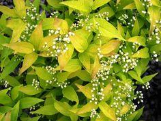 deutzia images   shrubs garden plants
