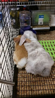 mini lops, lop eared bunnies and momma rabbit. Reba and one of her babies. lop eared rabbits, orange and white bunnies, gray and white rabbits
