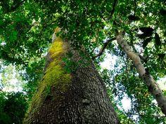 Castanheira no parque estadual no norte de Mato Grosso, um dos principais redutos protegidos de biodiversidade da Amazônia.