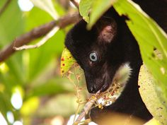 (Endangered) Sclater's black lemur (Eulemur flavifrons) is also known as the blue-eyed back lemur.    Photograph: Nora Schwitzer/Bristol Conservation and Science Foundation