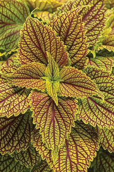 Types of Houseplant Bugs and Methods to Check Their Infestation 'Colorblaze Golden Dreams' Coleus By Proven Winners Ll The Home Depot Garden Club Proven Winners, Inside Plants, Planting Flowers, Plants, Foliage, Foliage Plants, Hydroponic Plants, Flowers, Container Gardening