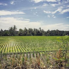 Harvest time #ricefields #roadtrip #bali #travel #anotherlandco
