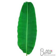 It's easy and inexpensive to turn a simple floral centerpiece into something unique and beautiful with Banana Leaves! Banana leaves are very tropical, broad, flat and long leaf greenery with a slight shine. We offer banana leaf greenery at wholesale pricing shipped straight from the farm to your doorstep with FREE SHIPPING!$75