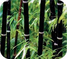 Winterharde en eetbare, snelgroeiende zwarte bamboe. Ook erg bruikbaar voor het hout.