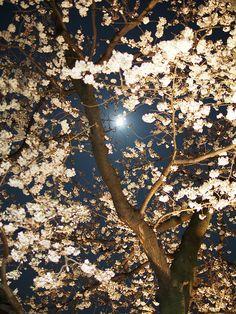 Cherry blossom & Full moon