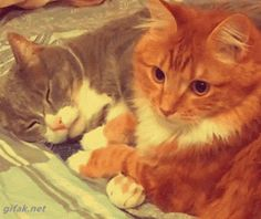 Cuddling Cats Gif cute animals cat cats adorable animal kittens pets gifs kitten gif funny animals
