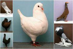 Beautiful varieties of pigeons.
