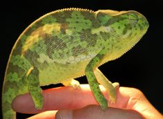 Chameleon near Kruger National Park, South Africa - we saw a similar creature just slowly crossing the road. Chameleons, Lizards, Amphibians, Reptiles, South Africa Safari, Famous Gardens, Kruger National Park, Safari Animals, Creatures