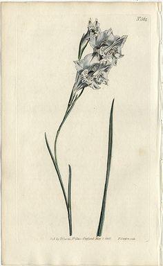 1802 antique curtis botanical gladiolus - Google Search