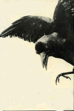 "Crows Ravens:  ""#Raven,"" by suzette."