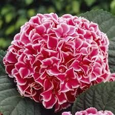 Image result for hydrangea varieties australia