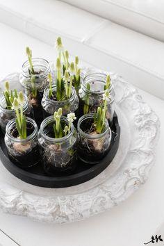 Bulb Flowers, Diy Flowers, Spring Flowers, Flower Pots, Cactus Flower, Purple Flowers, Spring Decoration, Spring Bulbs, Deco Table