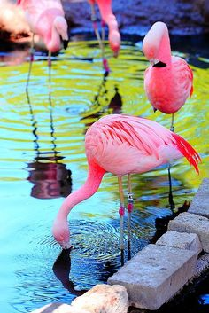 reminds me of the flamingos at William Land Zoo!