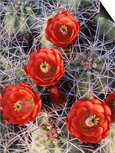 California, Joshua Tree National Park, Claret Cup Cactus Wildflowers SwitchArt™ Print by Christopher Talbot Frank at Art.com