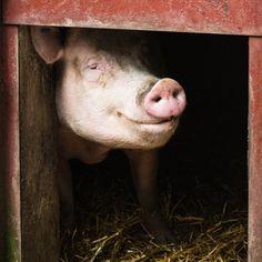 Animal Photography  Smiling Pig Fine Art by JudithKimberPhoto