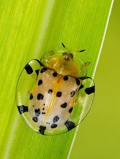 ˚Tortoise Beetle. (i still can't believe that there are people that think all is by chance, from one big bang)