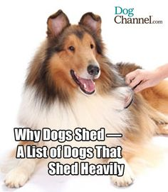 See the 34 dog breeds that top the list of dog's that shed the most. Learn why these dogs shed so much hair!