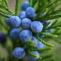#Juniper_berry :  HEALTH BENEFITS OF JUNIPER BERRY :  It is used to cure several diseases such as #cystitis, intestinal infections, #arthritis, #neuralgia, urinary tract disorders, #edema, #bladder and kidney disorders, gout, stomach ulcers, #flatulence and indigestion, colds and #asthma, #sinusitis and other inflammations... Click Here to Know More @ https://goo.gl/YxtFj8 #fruits #fruitsfacts #fruitsinfo #nutritionvalue #healthytips #diet #natural_remedy