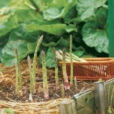 asparagus in the garden