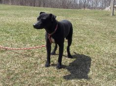 IN SHELTER ALMOST 8 MONTHS!! Codley - Black Lab (mix) Top of Ohio Pet Shelter - Bellefontaine, OH. Another wonderful guy who doesn't deserve to sit any longer in a shelter! Codley is the man! Very cool dog! He has been at the shelter since Sept 2013. He's fully vetted and ready to go.! He is approx. 3-4 years old. Please open your heart and home to him!  https://www.facebook.com/rescuemeohio.org/photos/a.768481643196011.1073741942.312505432126970/767457856631723/?type=1&theater
