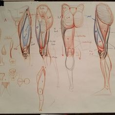 The front plane of the tibia looks like underwear