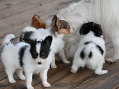 The Papillon is really a quite intelligent and self-assured dog which has an extremely straightforward time understanding new tricks.Probably the most iconic aspect in the Papillon is its ears that are large and nicely fringed, giving them a butterfly wing-like look. Papillons are parti-colored or white with patches of any colour.