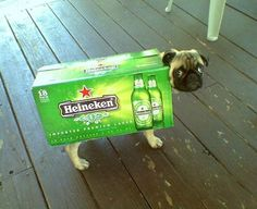 Halloween Small Dog Costume Ideas « Copper could change it to Coors and we're good! Pug Halloween Costumes, Pugs In Costume, Dog Halloween, Halloween Stuff, Homemade Halloween, Small Dog Costumes, Cute Dog Costumes, Costume Ideas, Dog With A Blog