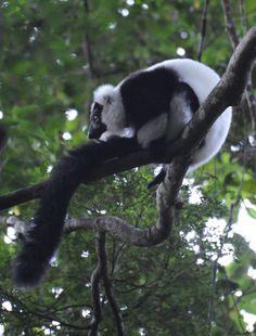mz-18 Milwaukee Zoo, Panda Bear, Animals, Animais, Animales, Animaux, Animal, Pandas, Panda