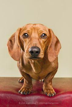 Teckel as teckel should be by Elke Vogelsang, via - Dachshund Basset Dachshund, Arte Dachshund, Dachshund Love, Daschund, I Love Dogs, Cute Dogs, Weenie Dogs, Dog Eyes, Dog Paintings