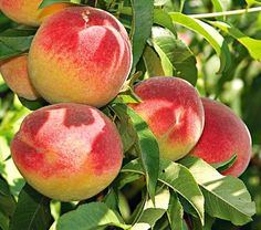 Millions of peaches...peaches for me...we'd like to plant one of these trees at our new house!