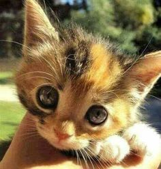 Oh my gosh, I need another kitten right now! cute kitty cat uh kitten!