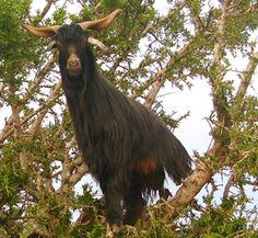 This is an Argan Tree only to be found in Morocco :-) http://josiemaranarganoil.org/what-is-argan-oil-why-you-should-buy-it-pure