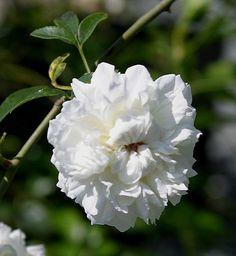 Fortuniana, Rosa Lady Eubanksia x Cherokee Rose, Flower Eseence