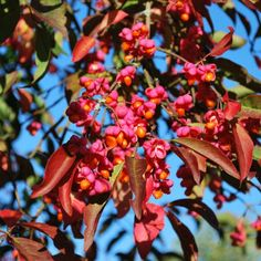Euonymus Europaeus Red Cascade, commonly known as Spindle Bush is a bushy deciduous shrub with arching branches and oval shaped, striking red leaves. Small White Flowers, Green Flowers, Shrubs For Sale, Garden Compost, Gardening, Plant Information, Free Plants, Orange Fruit, Red Berries