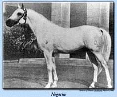 Negatiw (Naseem x Taraszcza by Enwer Bey), the sire of *Naborr, *Salon, and *Bandos, was born in 1945 at the Tersk Stud in Russia.