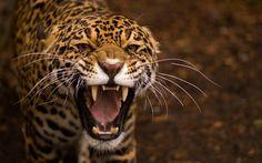 Jaguar - HD wallpaper (2880x1800) - animaux - Biographies dartistes et de peintres célèbres, analyses doeuvres, mouvements artistiques pour votre brevet de lhistoire de lart. Peintures et photographies de Mik-Art