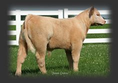 Black Angus Charolais Cross Show Cattle   Benny x KB 524 Donor (Charolais x Angus x Hereford)