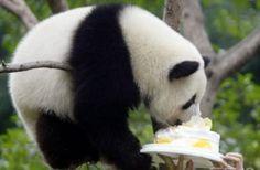 pretty panda eating a birthday cake