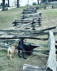 #instadogs #mountvernon #virginiaisforlovers #curios #curiosdog #fence #fenses #spring #hunde #frühling #neugierig #tiere #australiancattledog #nature #blacklab