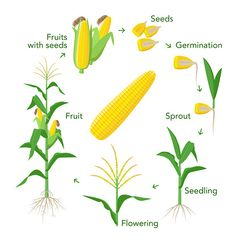 Maize plant growth infographic elements from seeds to fruits, mature corn ears. Corn life cycle in flat design Planting Seeds, Planting Flowers, Corn Plant, Ears Of Corn, Corn Ear, Home Vegetable Garden, Plant Growth, Geography, Early Education